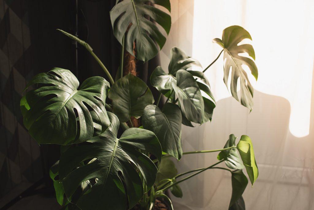 Botanische Plant Monstera - Botanisch Interieur